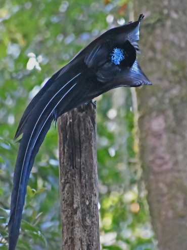 Black Sicklebill in display at Arfak