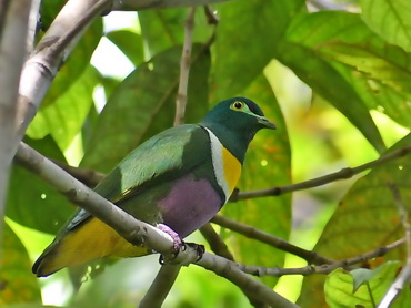 Geelvink Fruit-dove on Biak