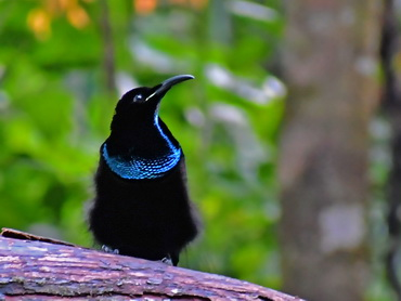 Magnificent Riflebird display