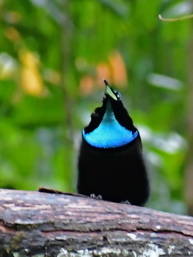 Magnificent Riflebird at
