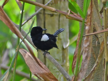 White-shouldered Fairy Wren