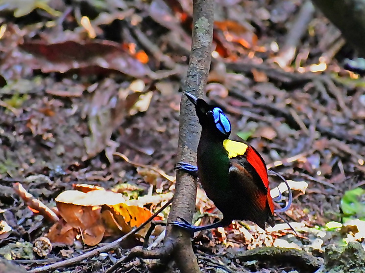 Wilson's Bird of Paradise on Waigeo