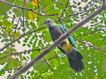 Wompoo Fruit-dove on Waigeo