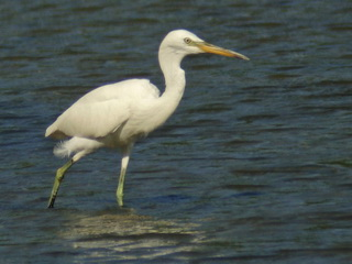 Chinese Egret on Cebu
