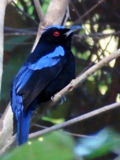 Philippine Fairy Bluebird on Bohol