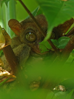 Philippine Tarsier on Bohol