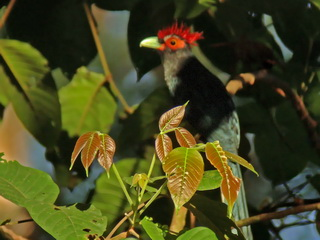 Red-crested Malkoha at Subic Bay
