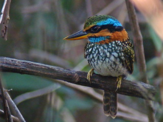 Spotted Wood Kingfisher on Luzon