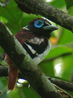 Visayan Wattled Broadbill in the Philippines