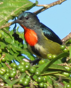 Fire-breasted Flowerpecker on Kitanglad