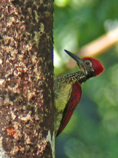 Luzon Flameback at Subic