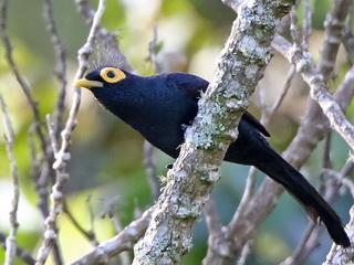 Apo Myna on Mount Kitanglad