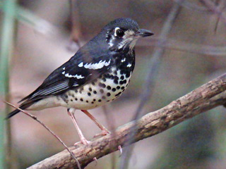 Ashy Thrush at La Mesa Manila