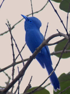 Blue Paradise-Flycatcher on Palawan