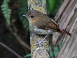 Cryptic Flycatcher at Eden, Davao