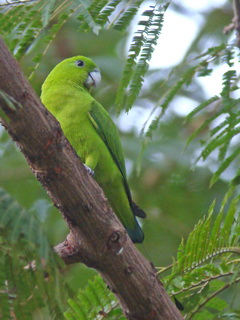 Green Racquet-tail at Subic Bay