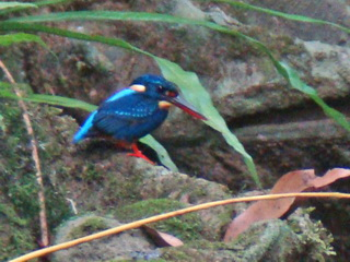 Indigo-banded Kingfisher at Makiling
