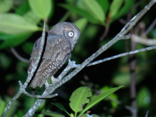 Mantanani Scops Owl on Palawan