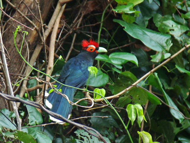 Red-crested Malkoha at Subic