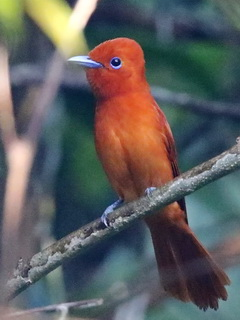 Rufous Paradise Flycatcher in the Philippines