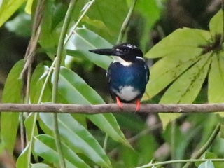 Silvery Kingfisher at Picop