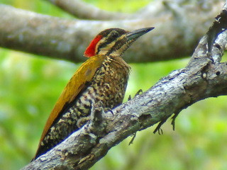 Spot-throated Flameback on Palawan