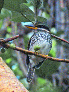 Spotted Wood Kingfisher at Subic
