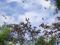 Subic Bat kingdom