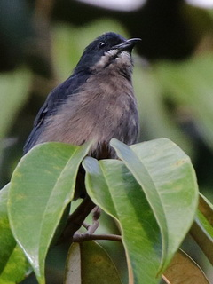 Whiskered Flowerpecker in Davao