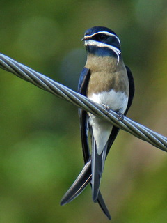 Whiskered Treeswift in Subic