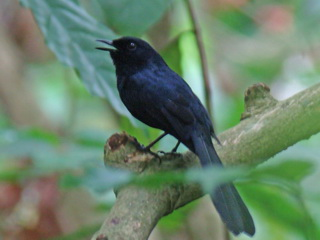 White-vented Shama on Palawan