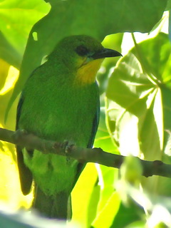 Yellow-throatedLeafbird on Palawan