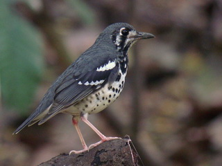 Ashy Thrush at La Mesa