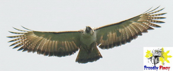 Philippine Eagle in flight