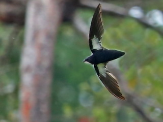 Philippine Needletail