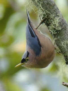 Sulphur-billed Nuthatch at Kitanglad