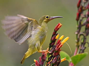 Spectacled Spiderhunter at Borneo Highlands