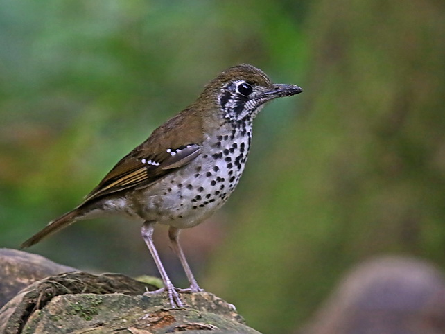 Spot-winged Thrush in Sri Lanka