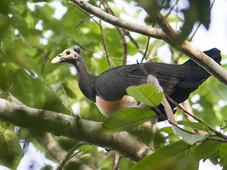 Maleo bird at Tambun