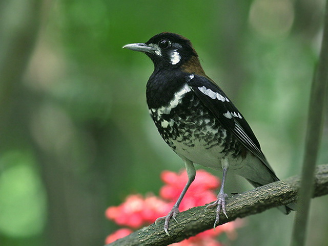 Red-backed Thrush