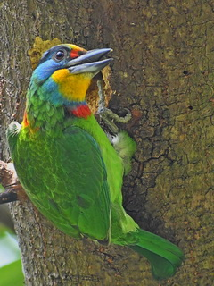 Taiwan Barbet in Pingtung county