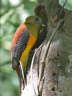 Orange-breasted Trogon at Kaeng Krachan