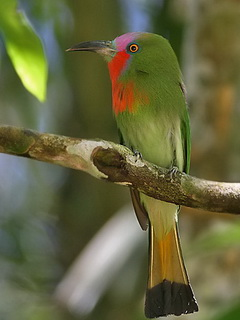 Red-bearded Bee-eater in Thailand