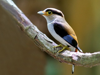 Silver-breasted Broadbill in Thailand