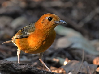 Orange-headed Thrush at Baan Maka