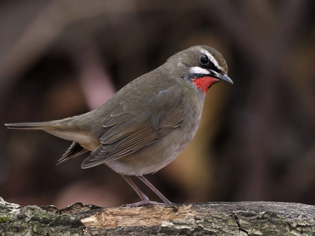 Siberian Rubythroat on Doi Lang