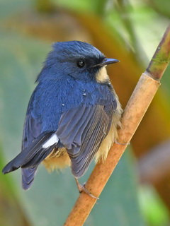 Slaty-blue Flycatcher on Doi Lang