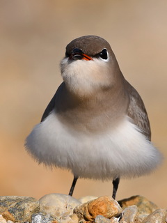 Little Pratincole