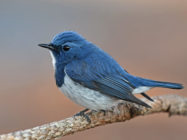 Ultramarine Flycatcher on Doi Lang