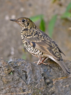 White's Thrush / Scaly Thrush